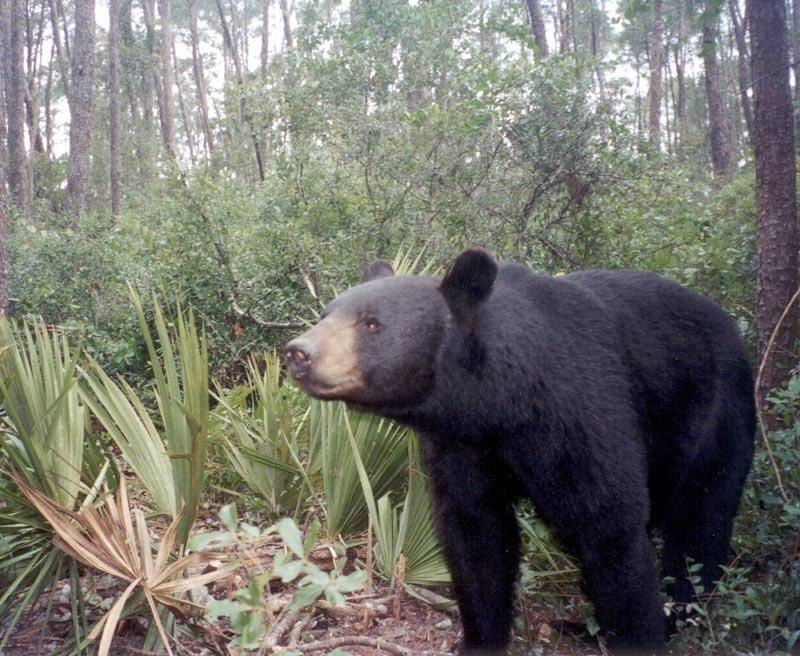 A_Florida_Black_Bear